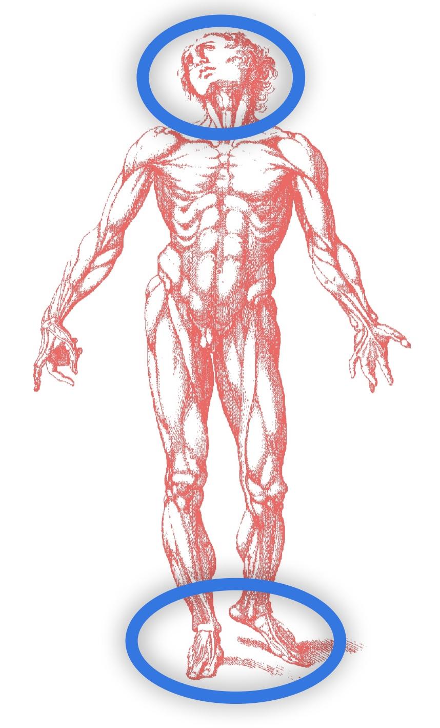 Nella immagine la parte superiore del corpo orientativa e quella inferiore adattattiva e compensativa
